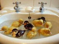 Patinhos em uma pia cheia d'água